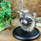y23a Taxidermy Oddities Curiosities Raccoon Head Mount Glass Dome collectible