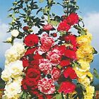HOLLYHOCK MAJORETTE DOUBLE MIXED Colors150 SEEDS5 6 Feet TallLarge Flowers