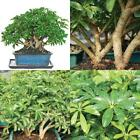 Bonsai Garden Dwarf Hawaiian Umbrella Tree Indoor Plant Pot Home Yard Best Gift