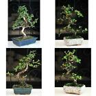 Fukien Tea Bonsai with 6 Ceramic Pot Plant Garden Hooseplnat Indoor Tree Live
