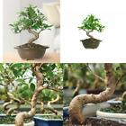 Golden Gate Ficus Bonsai Tree Live Plant Indoor Tropical Beauty Gift Yard Garden
