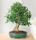 Brussels Golden Gate Ficus Bonsai Tree Plant indoors Houseplant Best Gift New