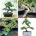Brussels Chinese Elm Bonsai Live Tree Plant 5 year old Outdoor Interior Decor