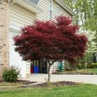 Bonsai Japanese Red Maple Tree Plant Garden Size 2 3 ft Best Gift Outdoor NEW