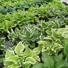 30+ Seeds *Hosta Mix *Seeds From Over 30 Parent Varieties From Giants to Minis