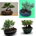 Bonsai Juniper Fertilized Tree Live Plant Best Gyft Pot Houseplant Indoor New