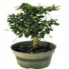 Mini Fukien Tea Pre Bonsai Tree Carmona 4 Pot Indoors Tropical Plant Flowers