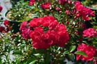 10x  Rosa The Fairy rot reich blühende sehr robuste rote Bodendeckerrose 20/30cm