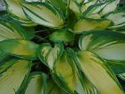 TINY SMALL-HOSTA COLLECTION For your perennial garden! 10 Seeds *Combined Ship*