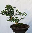 Cork Bark Oak Bonsai Tree