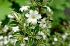 Flowering White Serissa With Raised Roots Bonsai Tree serissa foetid