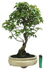 Trident Maple acer buergerianum outdoor bonsai tree