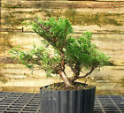 Bonsai Tree Shimpaku Juniper Itoigawa SJI1G 927E