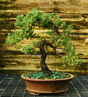 Bonsai Tree Pro Nana Green Mound Juniper GMJ 104E