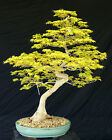 Bonsai Tree Specimen Imported Japanese Maple JMSTQ466 509