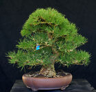 Bonsai Tree Specimen Imported Japanese Black Pine JBPSTQ386 509