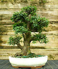 Bonsai Tree Chinese Elm Specimen CEST 815A