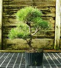 Bonsai Tree Japanese Black Pine JBP3G 118E