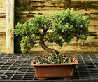 Bonsai Tree Pro Nana Green Mound Juniper GMJ 209B