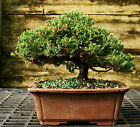 Bonsai Tree Pro Nana Green Mound Juniper GMJ 209C