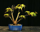 Bonsai Tree Japanese Maple Arakawa Corkbark Specimen JMA 220E