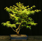 Bonsai Tree Japanese Maple Arakawa Corkbark Specimen JMA 220F