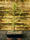 Bonsai Tree Dawn Redwood DR 302E