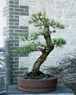 Bonsai Tree Specimen Japanese Black Pine by Mauro Stemberger JBPST 1229A