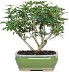 Bonsai Dwarf Hawaiian Umbrella Tree Plant Garden Houseplant Indoor Best Gift