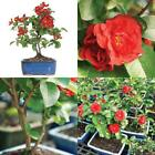 Bonsai Japanese Tree Red Quince Plant Flowers Bloom Houseplant 3 Years Best Gift