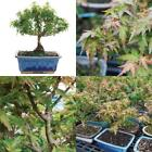 Bonsai Tree Kotohime Maple Japanese Plant Hooseplan Small Leaf 3 Years Leaves