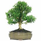 Bonsai Harland Boxwood Tree Beautiful Plant Dark Green Foliage 6 Year Ind Outsid