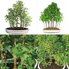 Bonsai Trident Maple Forest 15 Tree Deciduous Outdoor Beautiful Plant 10 Years