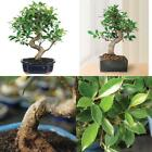 Bonsai Japanese Weeping Willow Tree Foliage Plant 3 Years Best Gift NEW