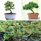 Bonsai Tree Beautiful Live Plant 3 Years Deciduous Green Mound Juniper Outdoor