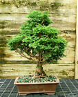 Specimen Bonsai Tree Hinoki Cypress HCST 815A