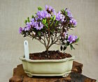 SHOHIN FLOWERING BONSAI PURPLE GEM DWARF RHODODENDRON GLAZED CERAMIC POTS