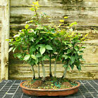 Bonsai Tree Specimen Japanese Beech 7 Tree Grove JBG7ST 728