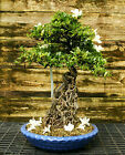 Bonsai Tree Exposed Root Satsuki Azalea Hakuho Specimen SAHST 424B