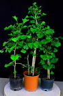 Ginkgo Biloba Pre Bonsai Trees 4 Pot Set of 3