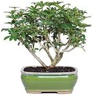 Bonsai Dwarf Hawaiian Umbrella Tree Plant Houseplant Office Best Gift 3 Years
