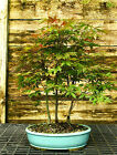 Bonsai Tree Japanese Red Maple Grove JRMG3 508A