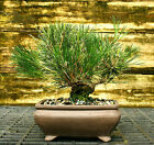 Bonsai Tree Japanese Black Pine JBP 508