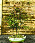 Bonsai Tree Japanese Red Maple Grove JRMG3 508B