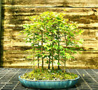 Bonsai Tree Trident Maple Grove 7 Trees TMG7 508B