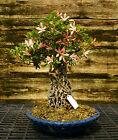 Bonsai Tree Exposed Root Satsuki Azalea Sachi no Hana Specimen SASST 508C