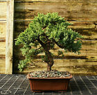 Bonsai Tree Pro Nana Green Mound Juniper GMJ 209G