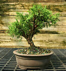 Bonsai Tree Shimpaku Juniper Itoigawa SJI 914B