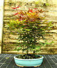 Bonsai Tree Japanese Red Maple Grove JRMG3 518A