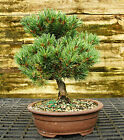 Bonsai Tree Five Needle White Pine WP 521C